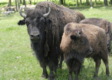 Adult American Bison and Calf Royalty Free Stock Photo