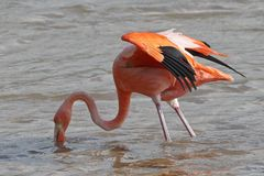 Adult American Flamingo foraging in a pond - Floreana Island, Galapagos. Adult American Flamingo Phoenicopterus ruber foraging in a pond - Floreana Island stock photography