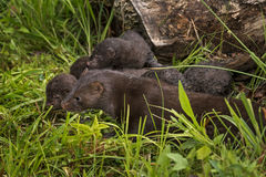Adult American Mink Neovison vison and Multiple Kits Royalty Free Stock Photography