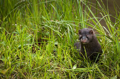 Adult American Mink Neovison vison Pops Up From  Grass Royalty Free Stock Photos