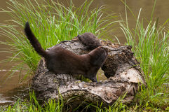 Adult American Mink (Neovison vison) Pulls Kit from Atop Log Stock Photography