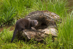 Adult American Mink Neovison vison Stands on Edge of Log Stock Photos