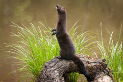 Adult American Mink Neovison vison Stands Facing Left Royalty Free Stock Photo