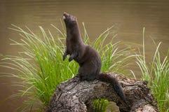 Adult American Mink Neovison vison Stands Up on Log stock images