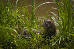 Adult American Mink Neovison vison Turns in Grass Royalty Free Stock Photography