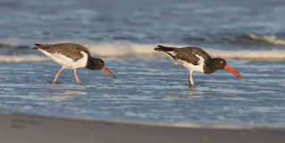 An adult american oyster catcher and its young Stock Photo