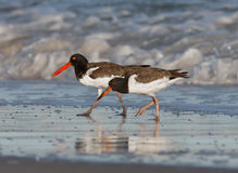 An adult american oyster catcher and its young stock image