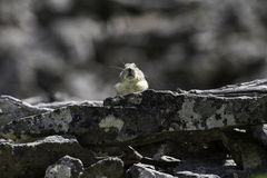 Adult American pika (Ochotona princeps) surveying its domain stock photography