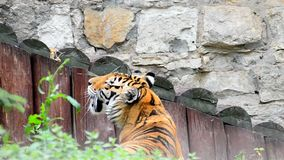 Adult Amur tiger. In the zoo stock footage