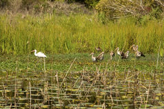 Free Adult And Juvenile White Ibis Wade In A Pond, Georgia. Stock Photo - 90571510
