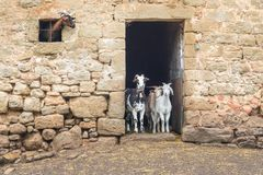 Free Adult And Young Goats Looking Out Of Barn Doors And Window. Life On Farm. Ecotourism Concept Stock Images - 150634874