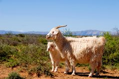 Adult Angora goat with lamb Stock Images