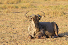 Adult antelope gnu Stock Images