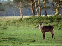 Adult antelope standing on the grass. On a background of trees Royalty Free Stock Photos