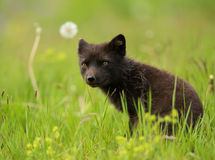 Adult Arctic fox Vulpes lagopus Royalty Free Stock Photography