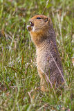 Adult Arctic Ground Squirrel. Foraging On Grass And Flower Seeds, Denali National Park and Preserve, Alaska Royalty Free Stock Photography