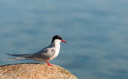 Adult Arctic Tern in breeding plumage, Greenland stock photography