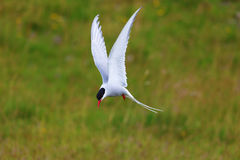 Adult arctic tern (sterna paradisaea), in Vatnsnes, Iceland Royalty Free Stock Photo