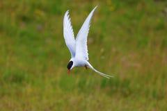 Adult arctic tern (sterna paradisaea), in Vatnsnes, Iceland