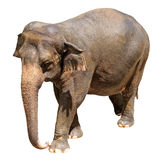 Adult asian elephant isolated on a white background. With clipping path Royalty Free Stock Photos