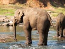 Adult asian elephants having bath in river - Elephas maximus Stock Image