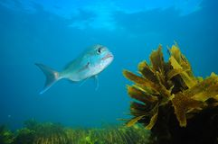 Snapper above sea weeds royalty free stock image