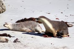 Two Sea Lion On the white beach of Seal Bay in Kangaroo Island Australia. 800 adult and australia australian back bay beach between bush colony down estimated Stock Images
