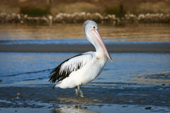 Adult Australian pelican bird in sun. Adult Australian pelican standing in morning sunlight Stock Images