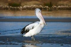 Adult Australian pelican bird in sun stock images