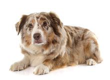 Adult australian shepherd Royalty Free Stock Images