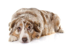 Adult australian shepherd. In front of white background stock image