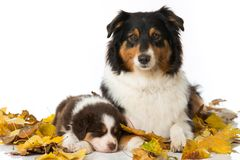 Adult australian shepherd with puppy isolated on white. Adult australian shepherd with sleeping puppy lying on white background isolated stock images