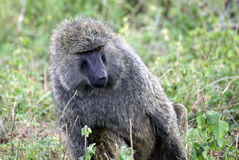 Adult baboon Stock Images