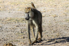 Adult baboon and excrement Royalty Free Stock Photos