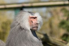 Serious looking adult Baboon with a fluffy grey coat. Adult Baboon looking at the camera in a zoo in North Yorkshire,England stock photo