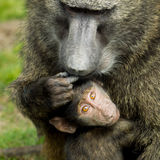Adult baboon ( Papio hamadryas ) with baby. Royalty Free Stock Photography