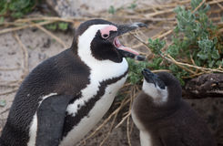 Adult and baby African penguin Stock Photography