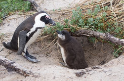 Adult and baby African penguin Royalty Free Stock Photo