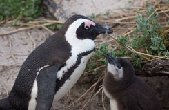 Adult and baby African penguin Stock Photos