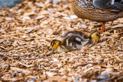 Adult and baby duck on wood chips. Small school of ducks walking on wood orange and brown chips royalty free stock photo