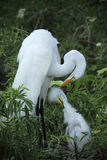 Adult and baby egret in a nest in Florida. Royalty Free Stock Images