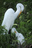 Adult and baby egrets, both preening in a nest, Florida. Stock Photography