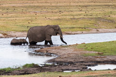 Adult and baby elephant cross river. Adult and calf elephant (Loxodonta africana) cross river, Botswana, 2015 stock image