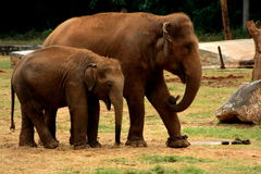 Adult and baby elephants Stock Images