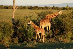 Adult and baby giraffe eating in sunset in Africa. Adult and baby giraffe eating in sunset in Maasai Mara national reserve in Kenya, Africa royalty free stock photography