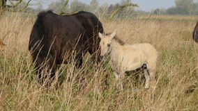 Adult and baby konik horse. Adult and baby wild konik horse in nature reserve stock video