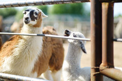 Adult and baby llama behind the fence Stock Image