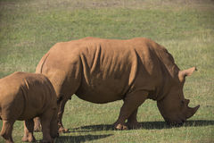 Adult and baby rhinos on grassland Stock Photo