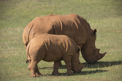 Adult and baby rhinos on grassland Stock Image