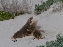 An adult and a baby sea lion Stock Photos